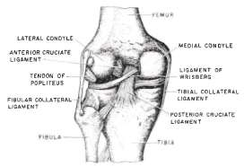 Fig. 1. Posterior view of left knee joint, showing anterior ligaments ...